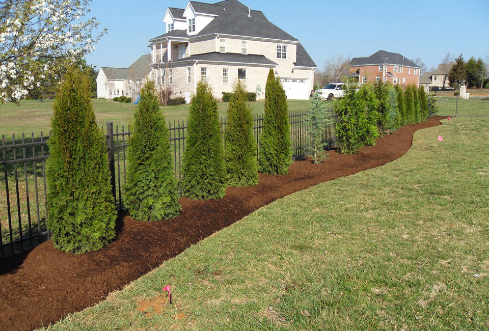Wrought Iron Fence Border Bed w/ 'Emerald Green' Arborvitae & Bush's Electra Blue Deodar Cedar as specimen planting w/ Curvilinear Borders set in Aged Hardwood Mulch for Privacy Screen